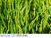 Купить «ears of rice», фото № 21889846, снято 13 августа 2014 г. (c) Яков Филимонов / Фотобанк Лори
