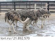 Купить «Молодые страусы на страусиной ферме», фото № 21892570, снято 20 февраля 2015 г. (c) Милана Харитонова / Фотобанк Лори