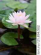 Цветок водяной лилии. Стоковое фото, фотограф Дмитрий Загурский / Фотобанк Лори