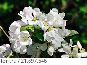 Купить «Цветы яблони крупным планом», фото № 21897546, снято 11 мая 2015 г. (c) Сергей Трофименко / Фотобанк Лори