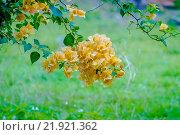 Купить «Тропические цветущие кустарники», эксклюзивное фото № 21921362, снято 26 октября 2015 г. (c) Хайрятдинов Ринат / Фотобанк Лори