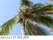 Высокая пальма  на фоне голубого неба. Стоковое фото, фотограф Игорь Опойков / Фотобанк Лори