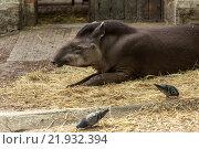 Wroclaw, Poland, Wroclaw Zoo in Flachlandtapir. Стоковое фото, агентство Caro Photoagency / Фотобанк Лори