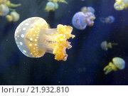 Медуза (2015 год). Стоковое фото, фотограф Юстасия Щурова / Фотобанк Лори