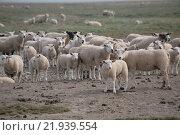 Купить «Bredstedt, Germany, sheep herd on Hamburger Hallig», фото № 21939554, снято 6 мая 2007 г. (c) Caro Photoagency / Фотобанк Лори