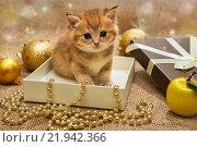 Купить «Маленький британский котенок в коробке среди новогодних игрушек», фото № 21942366, снято 27 октября 2015 г. (c) Okssi / Фотобанк Лори