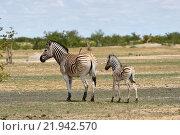 Зебры в национальном парке Etosha, Намибия (2016 год). Стоковое фото, фотограф Знаменский Олег / Фотобанк Лори