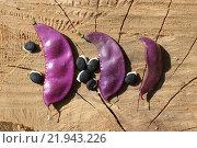 Стручки с семенами фасоли декоративной. Стоковое фото, фотограф Kostin sergey aleksandrovich / Фотобанк Лори