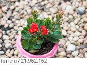 Купить «Kalanchoe flowering plant in pot», фото № 21962162, снято 22 октября 2018 г. (c) PantherMedia / Фотобанк Лори
