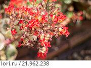Купить «Kalanchoe flowering plant in home garden», фото № 21962238, снято 18 января 2019 г. (c) PantherMedia / Фотобанк Лори