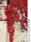 Дикий виноград. Стоковое фото, фотограф Павел Чайкин / Фотобанк Лори