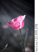 Розовый мак в солнечных лучах на сером фоне. Стоковое фото, фотограф Татьяна Белова / Фотобанк Лори