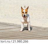 Джек Рассел терьер (Jack Russell Terrier) Стоковое фото, фотограф Алёшина Оксана / Фотобанк Лори