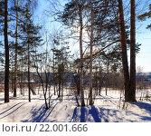 Солнце светит сквозь деревья в зимнем лесу. Стоковое фото, фотограф Тимофеев Владимир / Фотобанк Лори