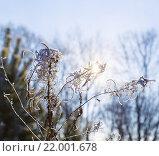 Солнце светит через сухую заиндевелую траву, зимние морозы. Стоковое фото, фотограф Тимофеев Владимир / Фотобанк Лори