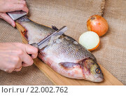 Купить «Очистка язя от чешуи на доске для разделки рыбы», фото № 22002762, снято 29 ноября 2015 г. (c) Алёшина Оксана / Фотобанк Лори