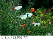 Белые маки с бутонами на ярком фоне. Стоковое фото, фотограф Татьяна Белова / Фотобанк Лори