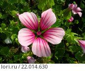 Купить «Розовый цветок мальвы», фото № 22014630, снято 16 июля 2011 г. (c) Jane Miau / Фотобанк Лори