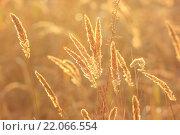 Колосья сухой травы в солнечном свете. Стоковое фото, фотограф Римма Тельнова / Фотобанк Лори