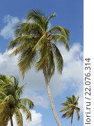 Кокосовая пальма,с кокосами на вершине,на фоне голубого неба с облаками. Стоковое фото, фотограф Игорь Опойков / Фотобанк Лори