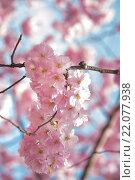 Ветка цветущей сакуры. Стоковое фото, фотограф Елена Поминова / Фотобанк Лори