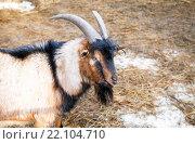 Голова коричневого козла на ферме крупным планом. Стоковое фото, фотограф FotograFF / Фотобанк Лори