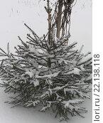Заснеженная молодая ель. Стоковое фото, фотограф Фёдор Ромашов / Фотобанк Лори