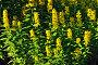 Вербейник обыкновенный (лат. Lysimachia vulgaris), фото № 22162546, снято 28 июня 2015 г. (c) Сергей Трофименко / Фотобанк Лори