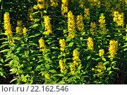 Купить «Вербейник обыкновенный (лат. Lysimachia vulgaris)», фото № 22162546, снято 28 июня 2015 г. (c) Сергей Трофименко / Фотобанк Лори