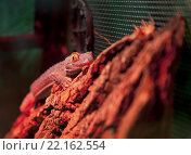 Древесный гекон. Стоковое фото, фотограф Евгений Талашов / Фотобанк Лори