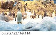 Купить «Пингвин стоит в вольере с естественными условиями обитания. Лоро-парк, Тенерифе, Канарские острова, Испания», видеоролик № 22169114, снято 5 февраля 2016 г. (c) Кекяляйнен Андрей / Фотобанк Лори