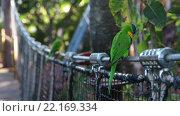 Купить «Зеленый попугай с синей головой и оранжевой грудью сидит на подвесном мосту. Вольер Katandra Treetops в Лоро парке (Loro Parque zoo), Санта Круз, Тенерифе, Канарские острова», видеоролик № 22169334, снято 4 февраля 2016 г. (c) Кекяляйнен Андрей / Фотобанк Лори