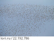 Купить «Goldregenpfeifer sind Zugvoegel - (Foto Schwarm im Fruehjahr) / European Golden Plover is a fully migratory bird - (Photo flock of birds in spring) / Pluvialis apricaria», фото № 22192786, снято 17 июня 2019 г. (c) age Fotostock / Фотобанк Лори