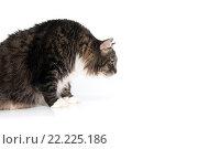 Купить «Пушистый кот на белом фоне», фото № 22225186, снято 12 ноября 2015 г. (c) Olesya Tseytlin / Фотобанк Лори