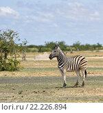 Зебра в национальном парке Этоша, Намибия (2016 год). Стоковое фото, фотограф Знаменский Олег / Фотобанк Лори