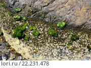 Codium coralloides on rocky coastline. Chlorophyta. Codiaceae. Mediterranean Sea, Cabo de Creus, Girona, Spain. Стоковое фото, фотограф J M Barres / age Fotostock / Фотобанк Лори