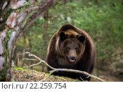 Купить «brown bear (Ursus arctos) in winter forest», фото № 22259754, снято 26 мая 2019 г. (c) PantherMedia / Фотобанк Лори