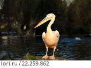 Купить «rare Spot-billed pelican, Pelecanus philippensisin», фото № 22259862, снято 26 мая 2019 г. (c) PantherMedia / Фотобанк Лори
