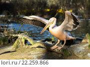 Купить «rare Spot-billed pelican, Pelecanus philippensisin», фото № 22259866, снято 26 мая 2019 г. (c) PantherMedia / Фотобанк Лори