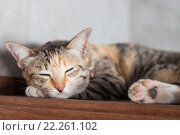 Купить «Thai cat sleeping in garden home», фото № 22261102, снято 19 октября 2019 г. (c) PantherMedia / Фотобанк Лори