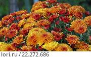 Купить «Orange Autumn Chrysanthemums Bush», видеоролик № 22272686, снято 14 марта 2016 г. (c) Юрий Брыкайло / Фотобанк Лори