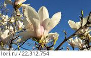 Купить «Белые цветы магнолии суланжа на фоне голубого неба», фото № 22312754, снято 10 марта 2016 г. (c) DiS / Фотобанк Лори