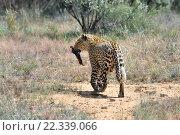 Купить «Дикий леопард, Намибия, Африка», фото № 22339066, снято 6 февраля 2016 г. (c) Знаменский Олег / Фотобанк Лори