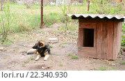 Купить «Сторожевая собака на цепи у будки», видеоролик № 22340930, снято 21 июня 2015 г. (c) Валерий Гусак / Фотобанк Лори