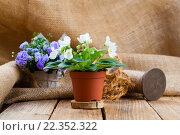 Купить «saintpaulia flowers in paper packaging,on wooden background», фото № 22352322, снято 9 июля 2020 г. (c) PantherMedia / Фотобанк Лори