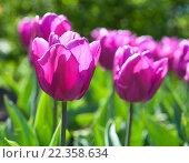 Красивые сиреневые тюльпаны на клумбе. Стоковое фото, фотограф Татьяна Кахилл / Фотобанк Лори