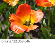 Красивый оранжево-красный тюльпан в парке. Стоковое фото, фотограф Татьяна Кахилл / Фотобанк Лори