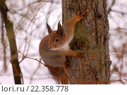 Белка сидит на дереве. Стоковое фото, фотограф Виктор Лазарев / Фотобанк Лори