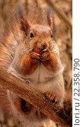 Белка сидит на ветке и грызет орех. Стоковое фото, фотограф Виктор Лазарев / Фотобанк Лори