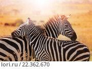 Зебра с жеребенком. Стоковое фото, фотограф Сергей Новиков / Фотобанк Лори